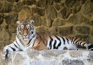 Киевский зоопарк довел до смерти тигра