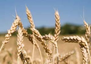 Тигипко против введения квот на экспорт зерна