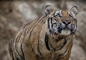 В Гималаях обнаружена популяция тигров, о которой ранее не знали ученые