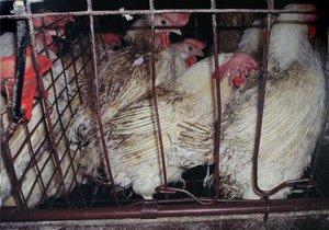 Американские эксперты прогнозируют рост мирового рынка курицы