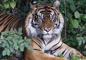 WWF: Планета может полностью лишиться всех тигров к 2022 году