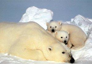 Власти США выделили на Аляске специальную зону для белых медведей