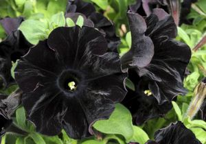 Британские ботаники вывели сорт черных цветов