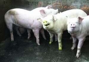 Британские ученые: Мясо и молоко клонированных животных безопасны для потребления в пищу