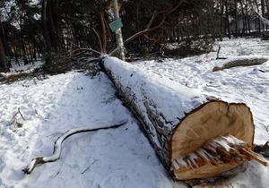 В Киеве в Дарнице неизвестные вырубили более сотни деревьев