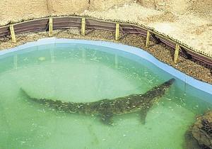 В Днепропетровске крокодилу сделают операцию, чтобы извлечь проглоченный телефон