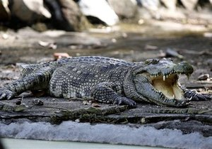 Крокодил из Одессы съел мобильный телефон: ветеринары борются за его жизнь