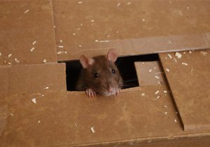 Израильские ученые научили мышей вычислять взрывчатку и наркотики