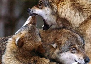 Экологи требуют запретить продажу волчьих шкур в Киеве