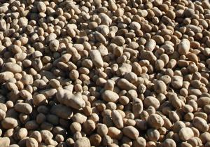 Цены на картофель возобновили рост