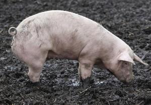 МВД: В Харьковской области свинья до смерти напугала хозяина