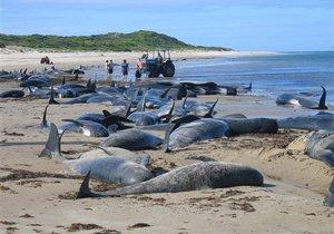 Более сотни черных дельфинов выбросились на берег в Новой Зеландии