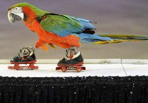 Итальянский дрессировщик научил попугая кататься на роликах