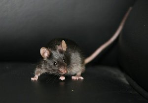 Исследование: Мыши могут регенерировать собственное сердце