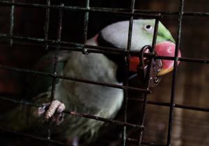 Украинец пытался незаконно провезти из Венгрии 35 декоративных птиц