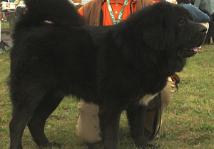 Китайский угольный магнат купил самого дорогого щенка в мире
