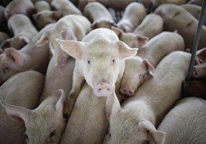 Минсельхоз РФ: Россия может потерять все поголовье свиней из-за чумы