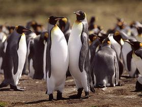 В Южной Атлантике от нефтяного пятна спасают 150 тысяч пингвинов