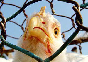 Американские ученые предлагают использовать куриные перья для изготовления пластмассы