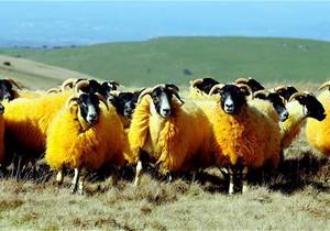 Британский фермер покрасил своих овец в оранжевый цвет