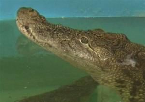 В Днепропетровске крокодил переварил проглоченный четыре месяца назад телефон