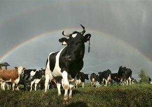 Вор в костюме коровы украл из магазина 100 литров молока
