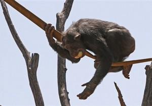 Ученые: обитающие в неволе шимпанзе плохо жестикулируют
