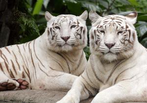 В Великобритании провели операцию по спасанию игрушечного тигра