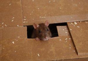 В Австралии объявили в розыск крысу, которая украла вставную челюсть