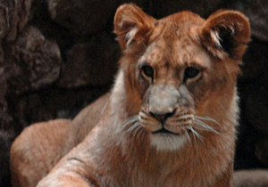 В Египте преступник натравил на полицейских льва. В животное выпустили 200 пуль