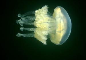 Нашествие медуз остановило работу двух энергоблоков шотландской АЭС