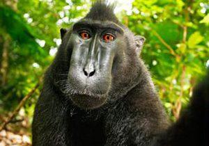 В Индонезии обезьяна украла у туриста фотоаппарат и устроила себе фотосессию