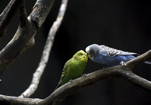 Ученые: Попугаи дают своим птенцам имена, которые используют всю жизнь