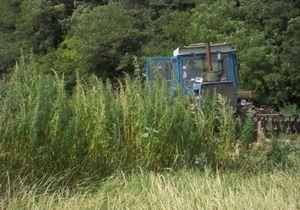В Донецкой области обнаружили рекордную плантацию конопли