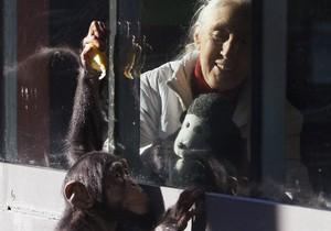 Ученые: В отличие от человеческого, мозг шимпанзе в старости не
