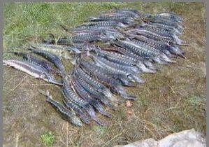 Пограничники Одесского отряда задержали браконьеров с четырьмя мешками осетра