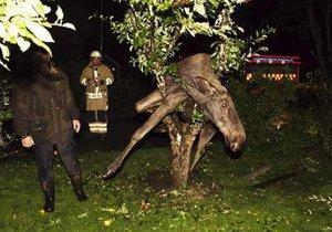 В Швеции спасли пьяного лося, застрявшего на дереве