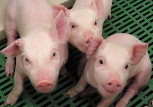 В Китае клонировали свинью, которая провела более месяца под завалами после землетрясения