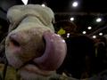 В этом году поголовье крупного рогатого скота в Украине сократилось до пяти миллионов голов
