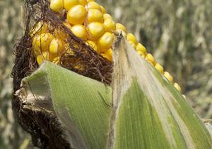 Американская семья заблудилась в кукурузном лабиринте