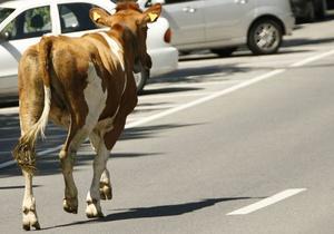 В Киевской области автомобиль врезался в стадо коров: погибли трое животных