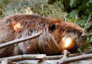 Киевские экологи пытаются спасти бобра, попавшего в очистительные сооружения