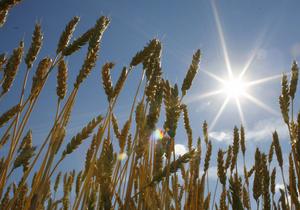 Каир закупил в Украине 120 000 тонн пшеницы