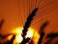 Урожай зерна в Украине в прошлом году вырос почти в полтора раза