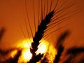 Эксперты прогнозируют серьезное снижение урожая озимой пшеницы в Украине