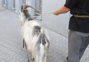 В одном из зоопарков Украины козлу поставили протез