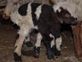 Шестиногий двуполый ягненок родился в Грузии