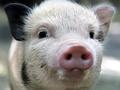 Подложили свинью: купленная британкой миниатюрная свинка превратилась в огромное животное