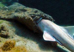 Вчені викрили акулу в канібалізмі