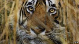Жителей индийской деревени переселяют ради тигров